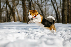 Dog jumping in snow and playing